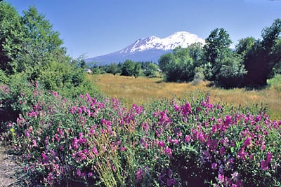 Wild sweetpeas near Lake Siskiyou, photo by Mark Gibson